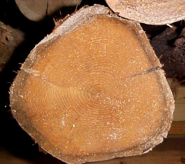 White Cedar Sapwood